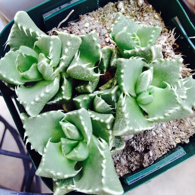 多肉植物フォーカリア属ボスケアーナ