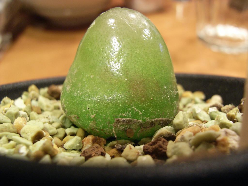 最も宝石に近い多肉植物コノフィツム・ブルゲリ