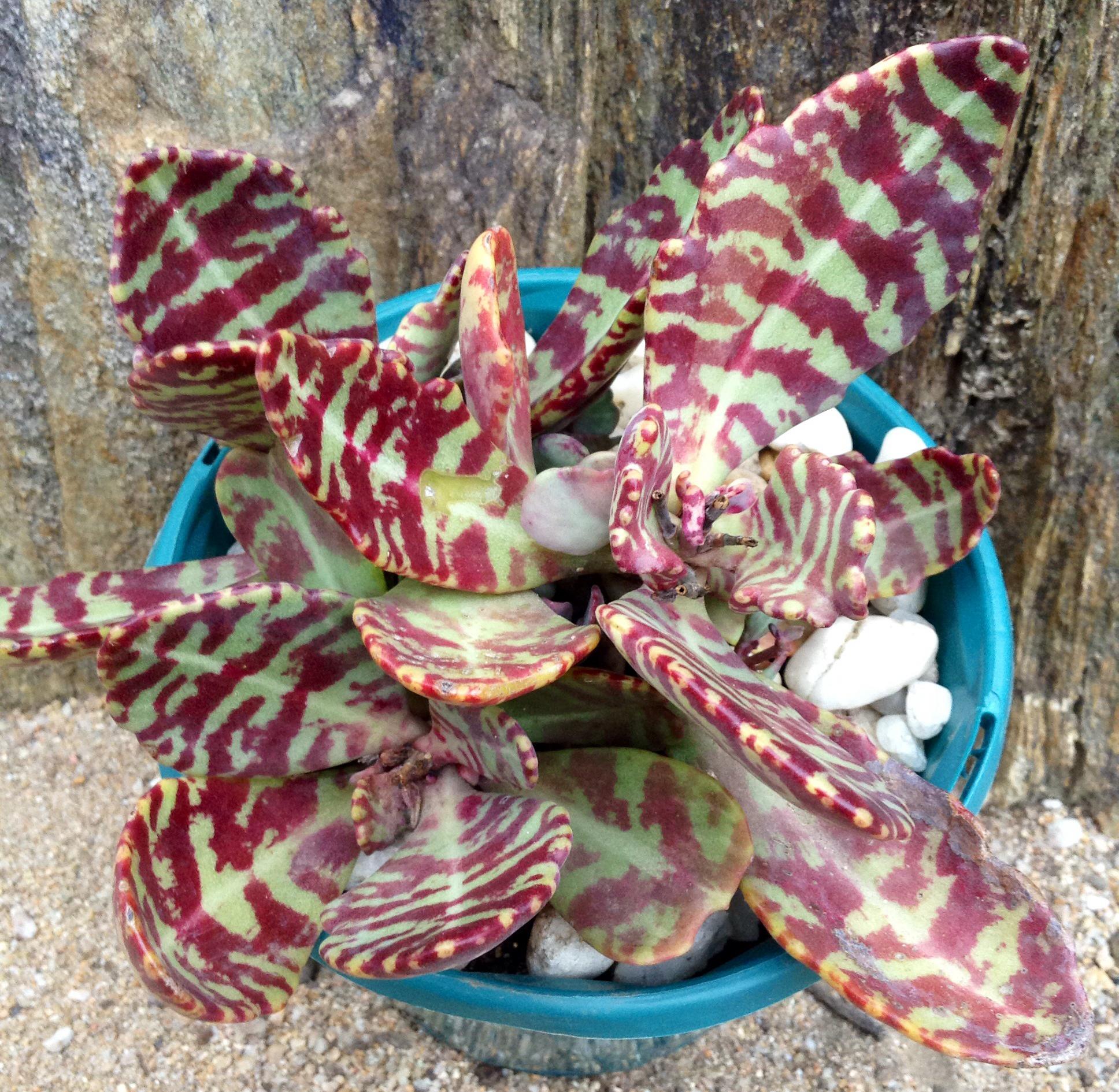 カウズラの模様が入るランコエ属多肉植物フミリス