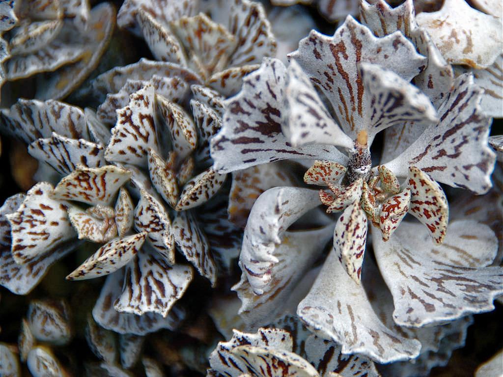 マダガスカル原産の多肉植物ロンボピローサ