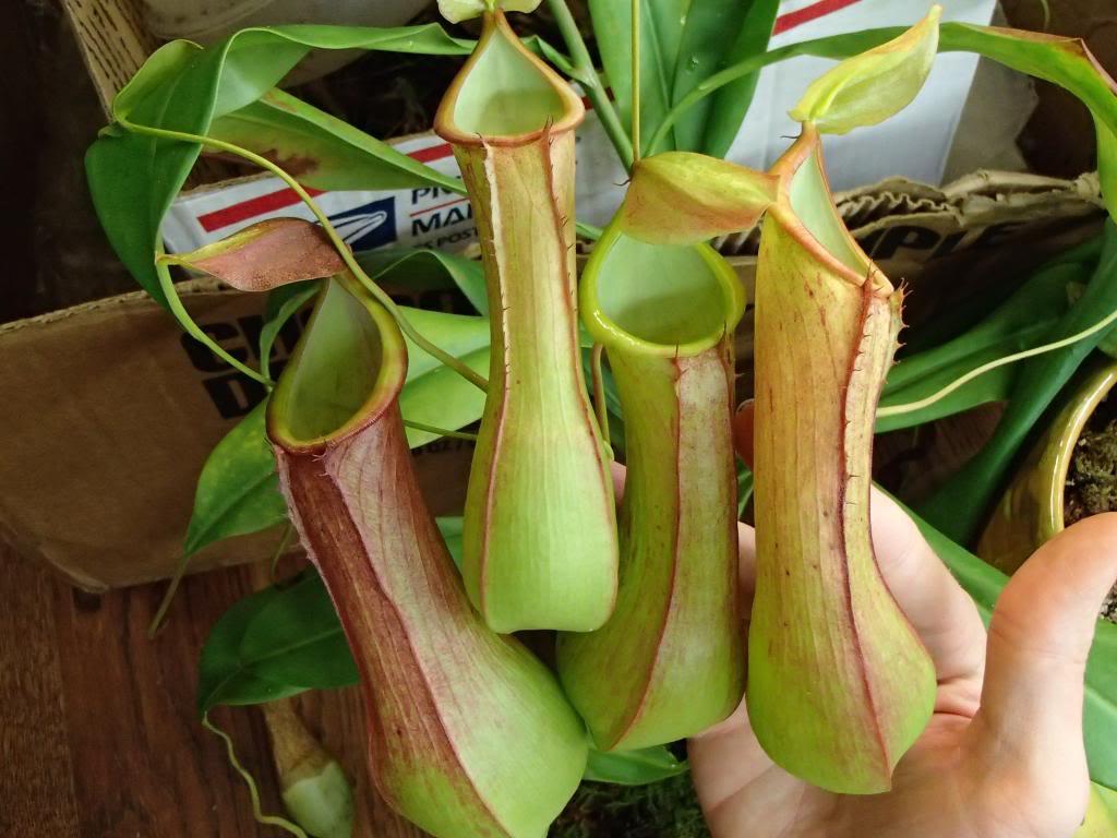 ウツボカズラ科の食虫植物ネペンテス・アラータ