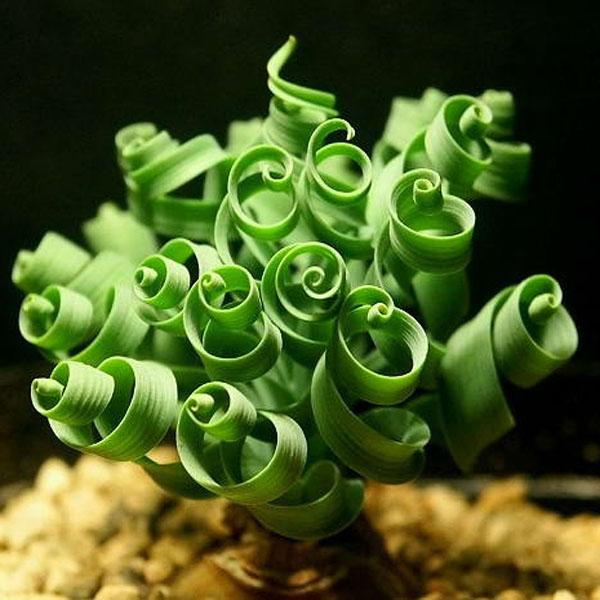 グルグルと渦を巻いた観葉植物スパイラルグラス
