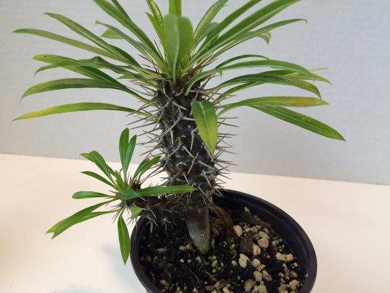 エキゾチックな多肉植物マダガスカル・パーム