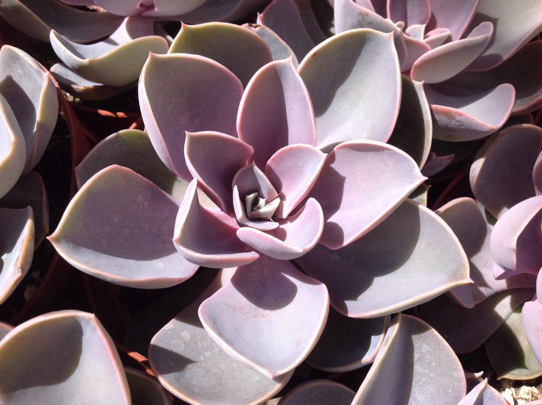 紫が色鮮やかな多肉植物パールフォンニュルンベルグ