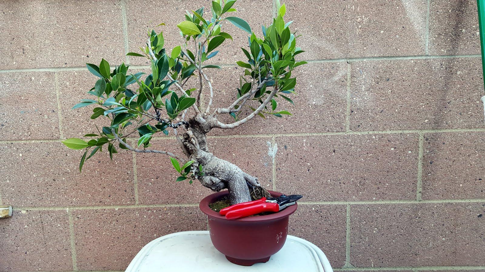 根がユニークな樹形を作り出すガジュマル